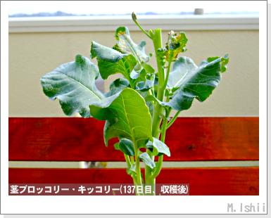 ペット栽培III(茎ブロッコリー)45