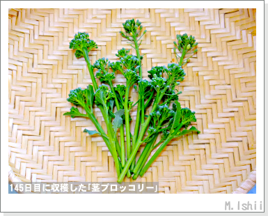 ペット栽培III(茎ブロッコリー)48