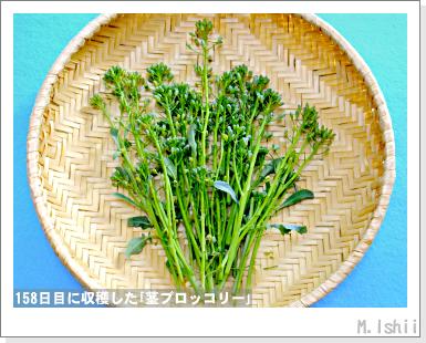 ペット栽培III(茎ブロッコリー)53
