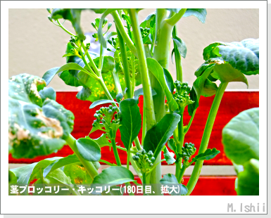 ペット栽培III(茎ブロッコリー)56