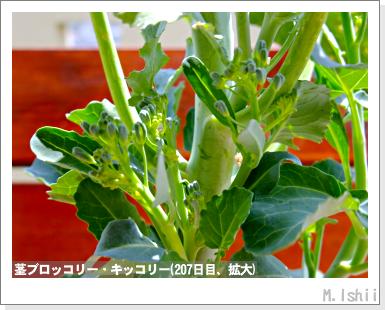 ペット栽培III(茎ブロッコリー)60