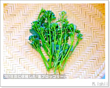 ペット栽培III(茎ブロッコリー)61