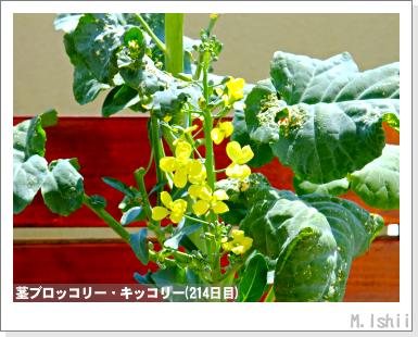 ペット栽培III(茎ブロッコリー)63