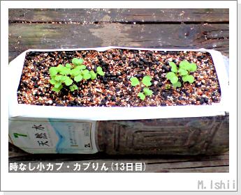 ペット栽培II(時なし小カブ)23