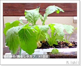 ペット栽培II(時なし小カブ)24