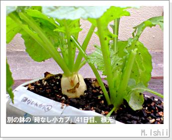 ペット栽培II(時なし小カブ)25