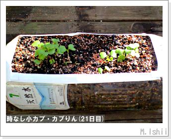 ペット栽培II(時なし小カブ)26