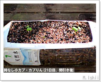 ペット栽培II(時なし小カブ)27