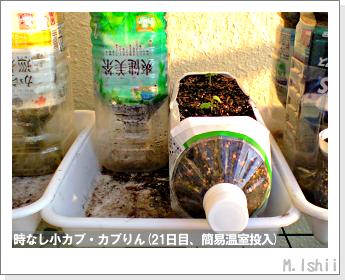 ペット栽培II(時なし小カブ)28