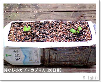 ペット栽培II(時なし小カブ)29