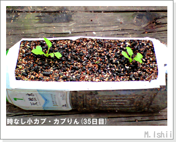 ペット栽培II(時なし小カブ)31