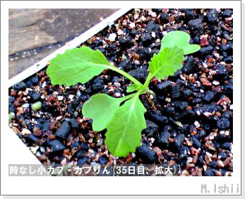 ペット栽培II(時なし小カブ)32