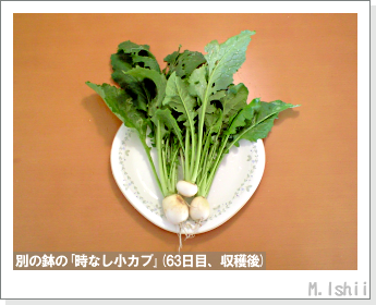 ペット栽培II(時なし小カブ)34
