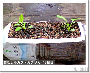 ペット栽培II(時なし小カブ)37