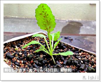 ペット栽培II(時なし小カブ)38
