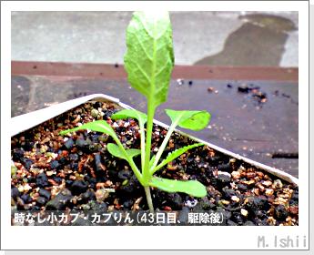 ペット栽培II(時なし小カブ)39