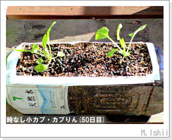 ペット栽培II(時なし小カブ)40