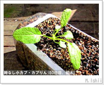 ペット栽培II(時なし小カブ)41
