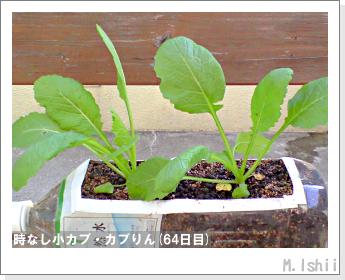 ペット栽培II(時なし小カブ)43