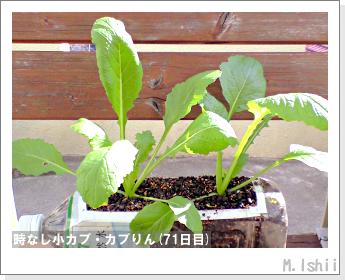 ペット栽培II(時なし小カブ)44