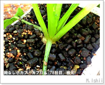 ペット栽培II(時なし小カブ)46