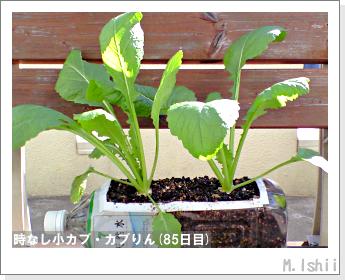ペット栽培II(時なし小カブ)47