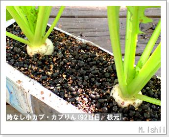 ペット栽培II(時なし小カブ)50