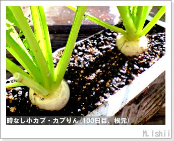 ペット栽培II(時なし小カブ)52