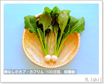 ペット栽培II(時なし小カブ)53
