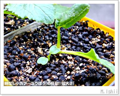 ペット栽培III(時なし小カブ)20