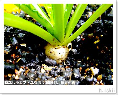 ペット栽培III(時なし小カブ)24