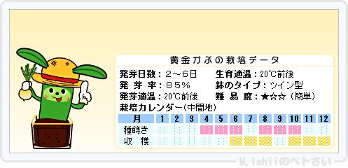 ペトさい(黄金かぶ)19
