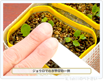 ペトさい(黄金かぶ)27