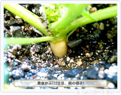 ペトさい(黄金かぶ)40