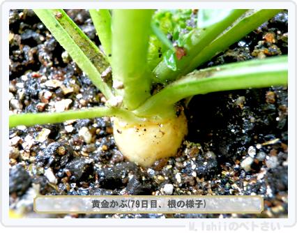 ペトさい(黄金かぶ)43