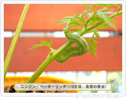 ペトさい(ニンジン)38