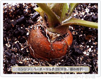 ペトさい(ニンジン)71