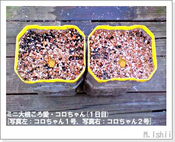 ペット栽培・試験録(ミニ大根)05