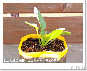 ペット栽培・試験録(ミニ大根)17