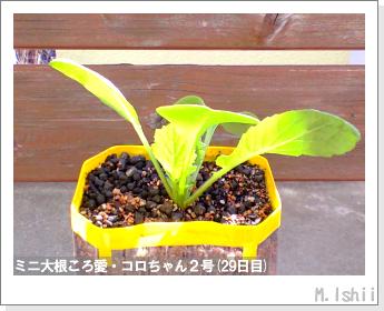 ペット栽培・試験録(ミニ大根)18