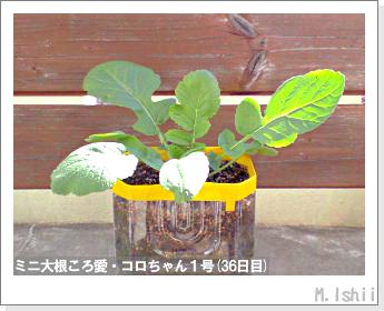 ペット栽培・試験録(ミニ大根)19