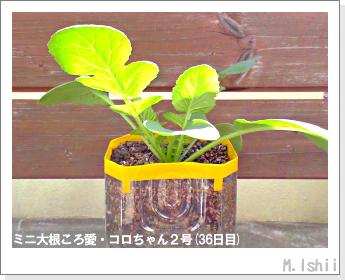 ペット栽培・試験録(ミニ大根)20