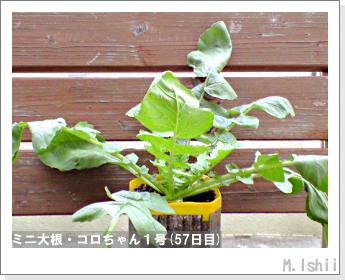 ペット栽培・試験録(ミニ大根)27