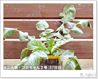 ペット栽培・試験録(ミニ大根)29