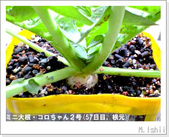 ペット栽培・試験録(ミニ大根)30