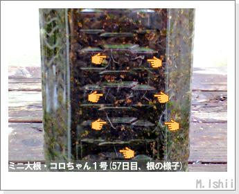ペット栽培・試験録(ミニ大根)31