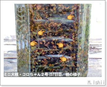 ペット栽培・試験録(ミニ大根)32