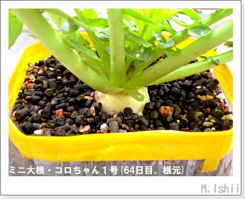 ペット栽培・試験録(ミニ大根)34