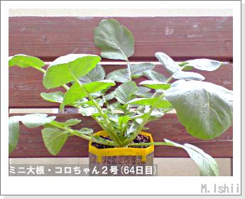 ペット栽培・試験録(ミニ大根)35