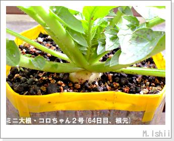 ペット栽培・試験録(ミニ大根)36